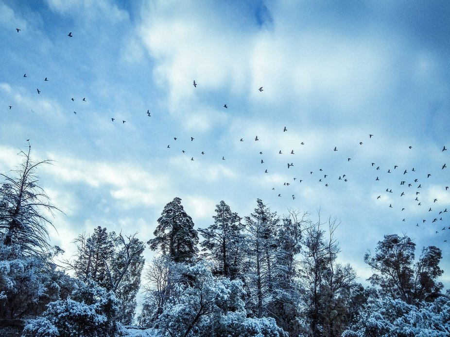 Birds flying over a snowed forest in Granada, Spain.
