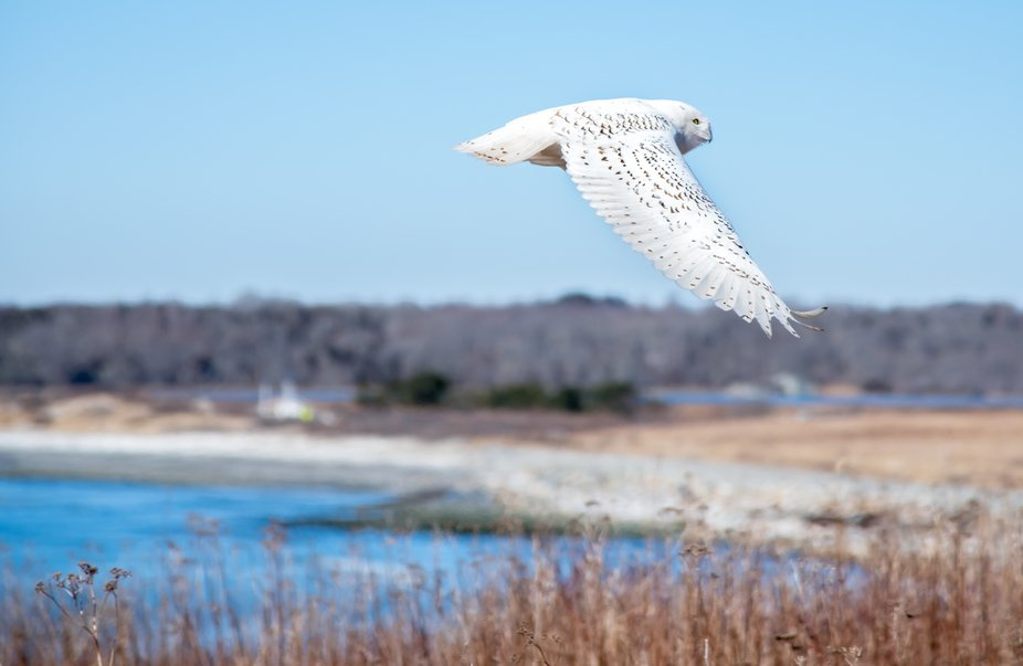 Snowy Owl heading back to his perch to hunt for lunch at Sachuest Point National Wildlife Refuge ...