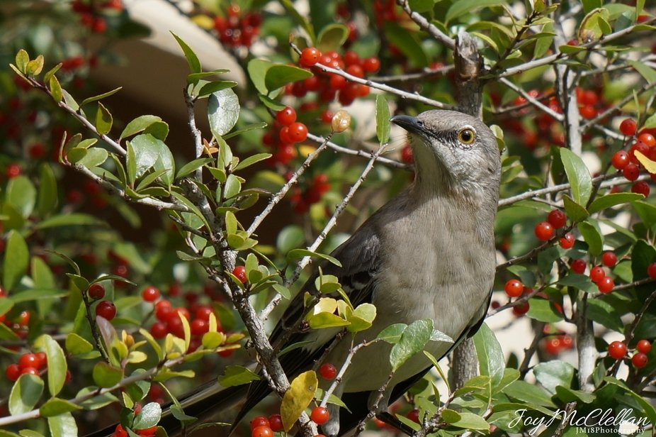 Mocking Bird in Yaupon Holly Tree