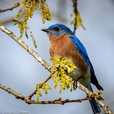 Eastern Bluebird love feeders stocked with meal worms.
