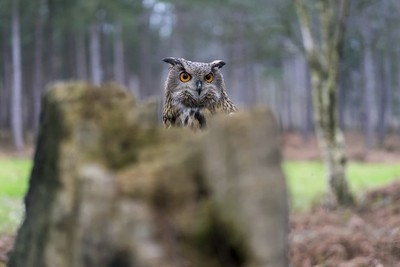 Eurasian Eagle Owl Popping Up