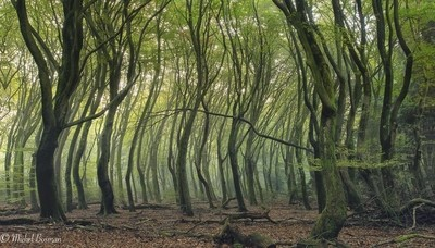 Dancing trees in the Netherlands