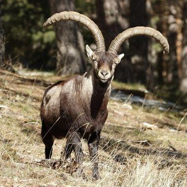 Cabron (Macho de cabra montesa) de Capra pyrenaica victoriae,adulto (por el color de la piel y el tamaño de los cuernos).Entre los Pinos de las laderas de la Peña de Francia (Salamanca-Spain)