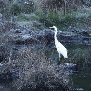 Garceta grande (Garzetta alba),a orillas del Rio Alagon (Salamanca-Spain), en un amanecer helado.