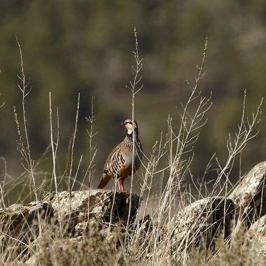 Perdiz roja (Alectoris rufa), propia de los paises mediterraneos.Especie cinegetica. Fotografiada en la Sierra de Francia (Salamanca-Spain).