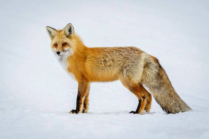 Foxy profile . . .  Yellowstone National Park by stevealder - Winter Wildlife Photo Contest