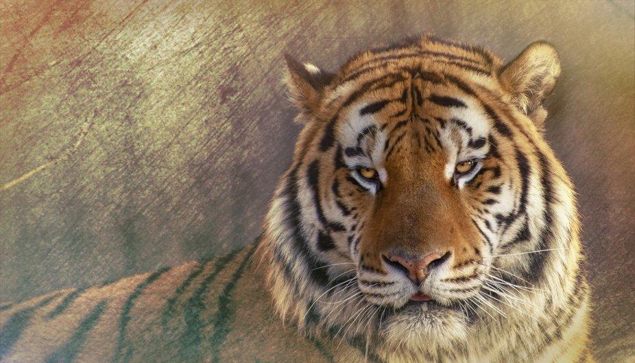 Siberian tiger, Amur tiger
