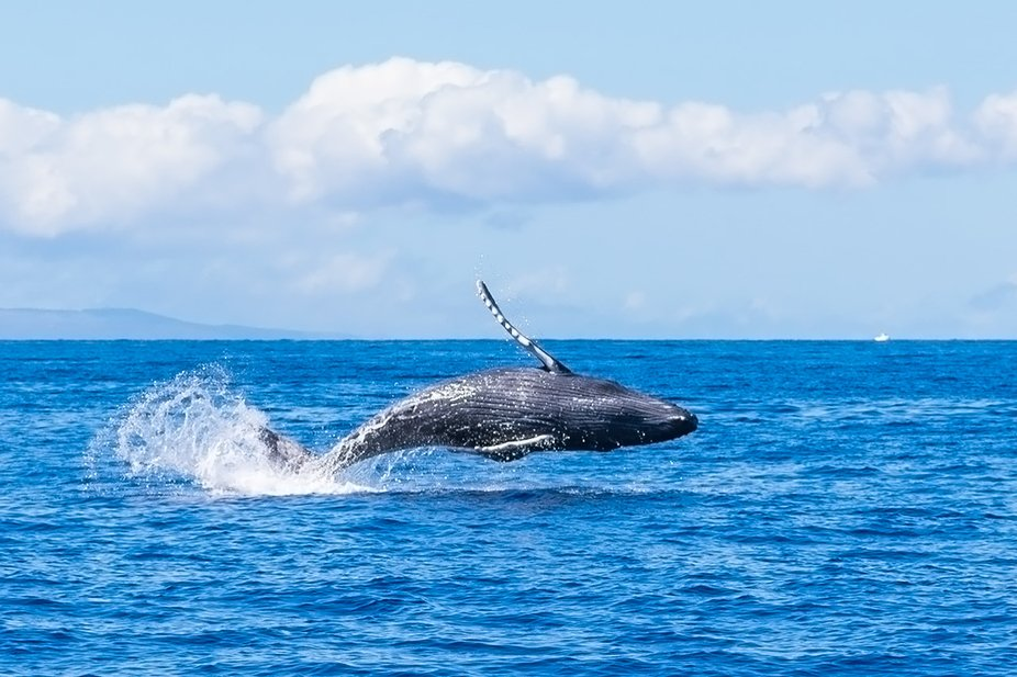 Baby humpback whale playing in the ocean in Maui