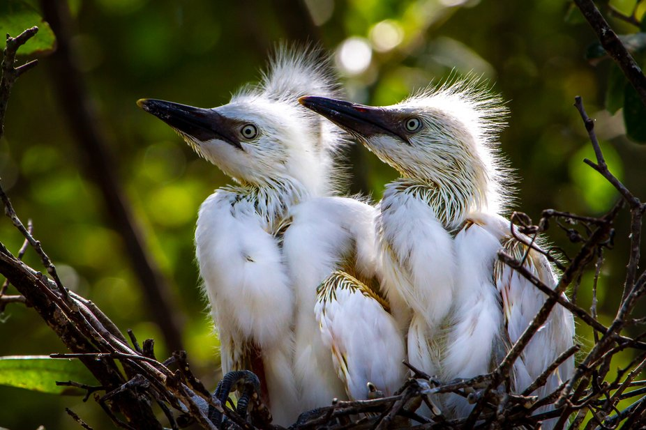 A pair of cattle egret chicks waiting patiently for mom to bring them food.