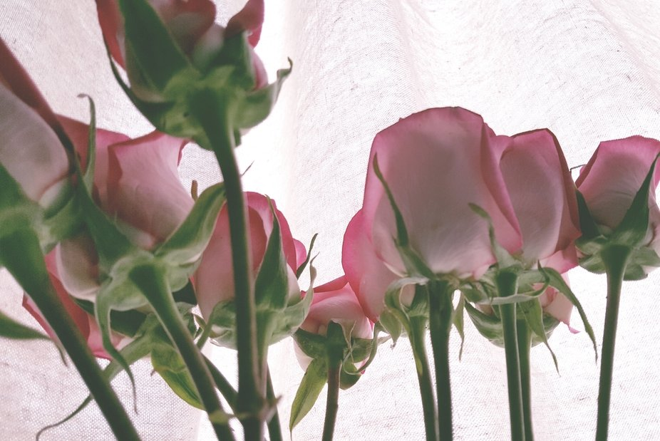 A view of pink roses from the chemotherapy treatment chair.