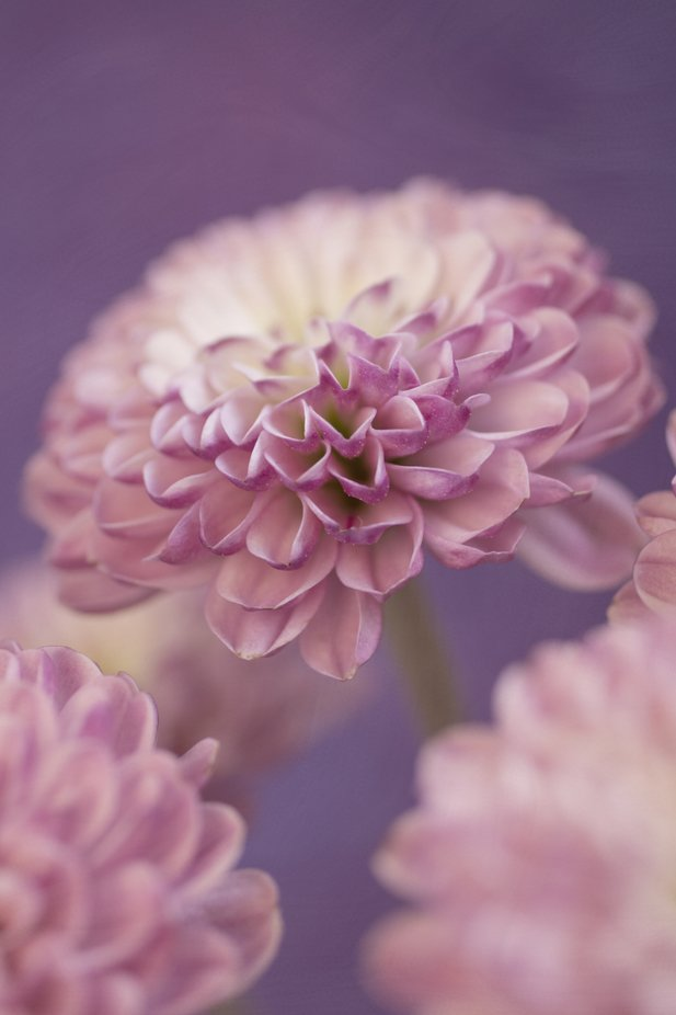 purple mum by mwormphotog - Image Of The Month Photo Contest Vol 42