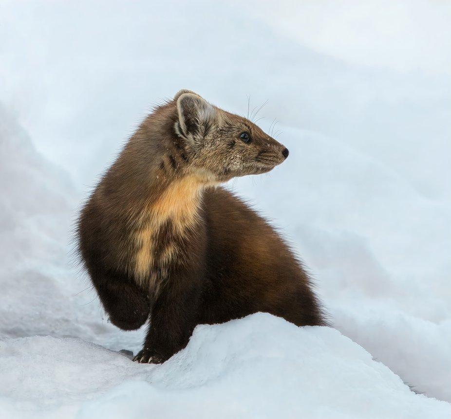 Watching a Fellow Pine Marten   Algonquin Ontario