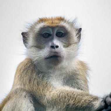 monkey at lake Mcritchie, treetop walk, Singapore
