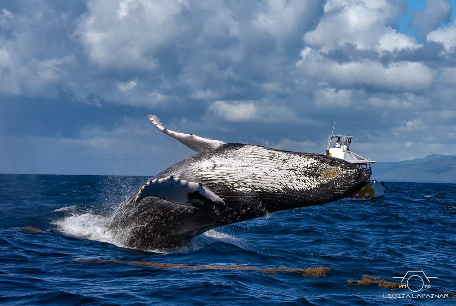 Every year between January and March about thousand of humpback whales migrate from the North Atl...