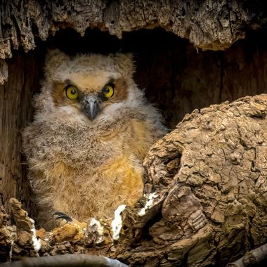 Little Great Horned Owl