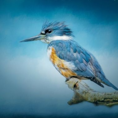 Kingfisher on Blue