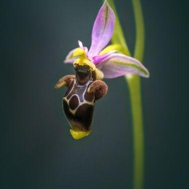 Sea Turtle Swimming Orchid