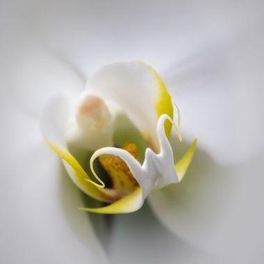 Orchid Beard