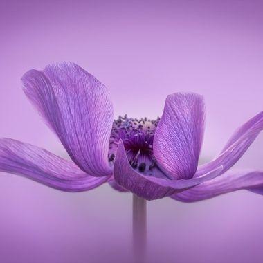 Lavender Anemone Poppy