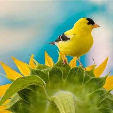 Goldfinch on Sunflower