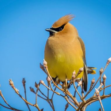 Cedar Waxwing on buds