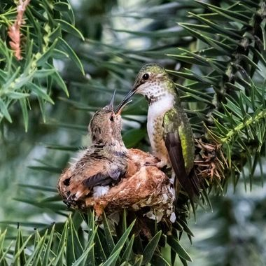 There was no manipulation to expose this nest.  It was placed in a very strategic location very difficult to see and we were very careful in finding just the right path to see this nest and patiently waiting for the Anna to come back to feed her baby.