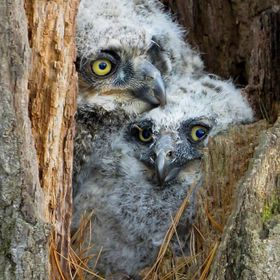 The two birds of prey are three week old baby great horned owls.