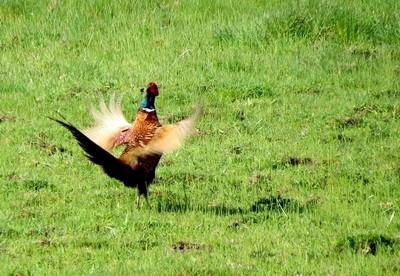 The pheasant makes itself delicious.