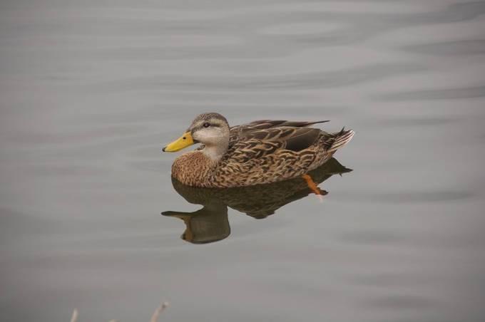 Florida Mottled Duck 2