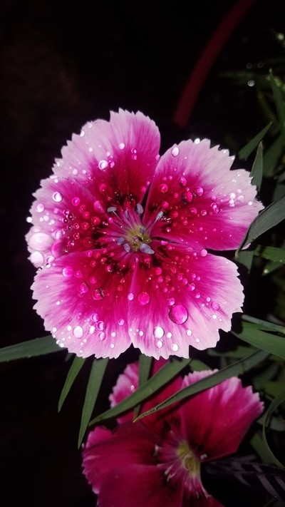 Rain on the  bloomers.