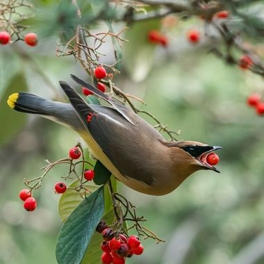 Waxwing with fruit-00937-2