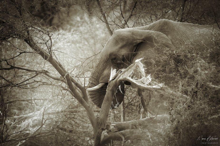 A big Bull Elep[hant in the Moremi Game Reserve - Botswana