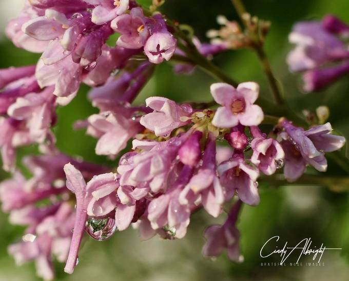 Lilacs after a Spring rain