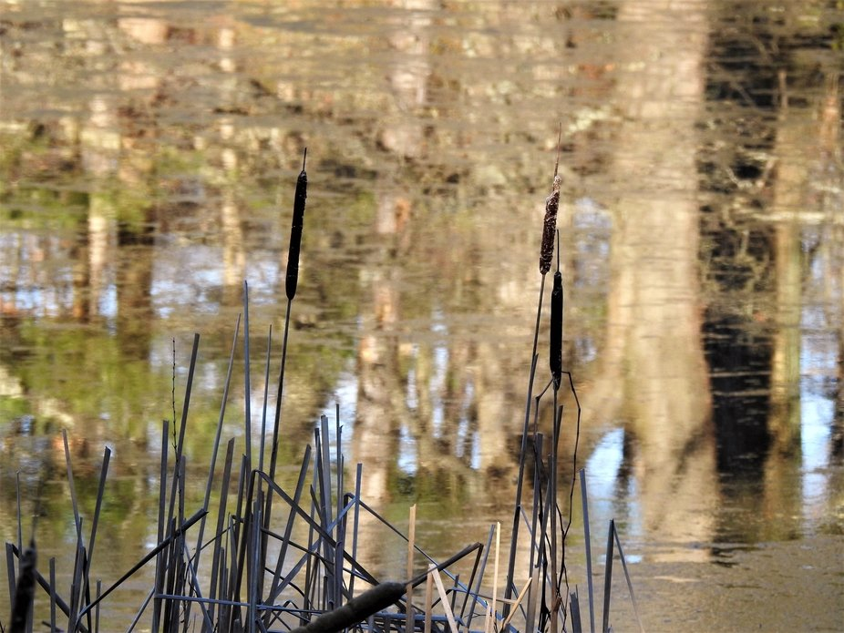 Cattails at the pond's edge