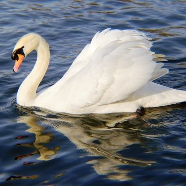 Mute Swan on river.