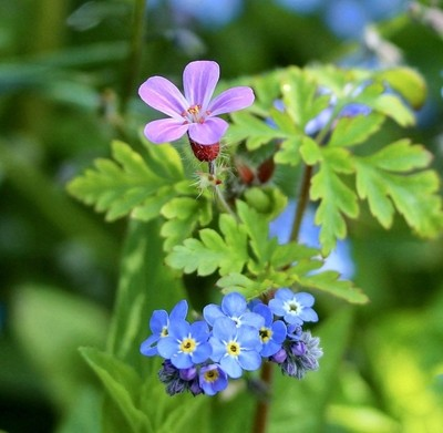 Herb Robert and Forget Me Not