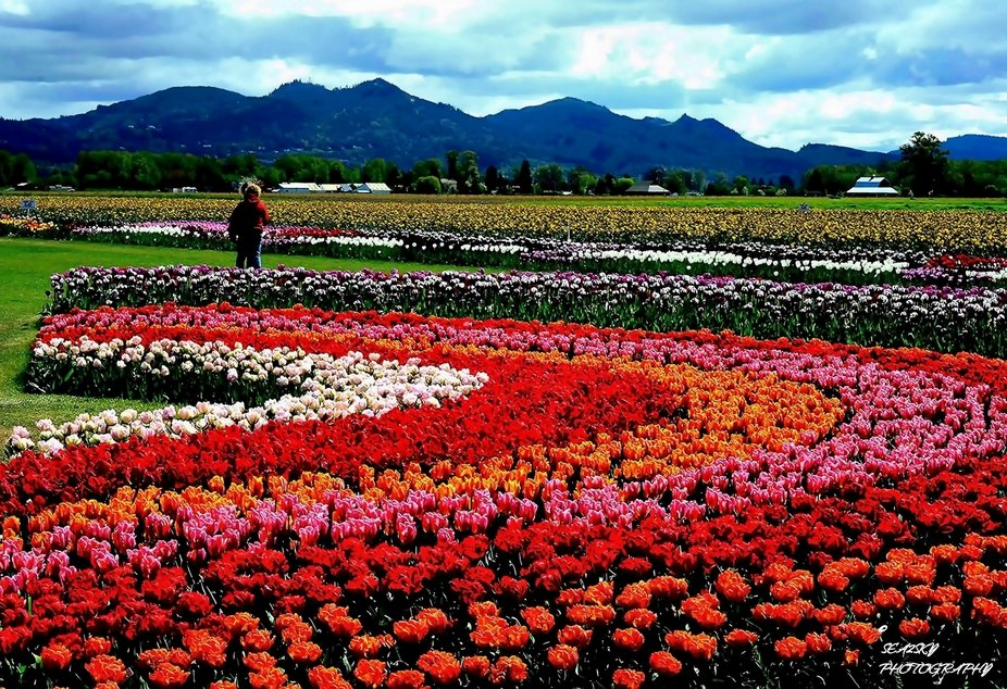 A small girl plays among the tulips on display at one of the Skagit Valley's largest tul...