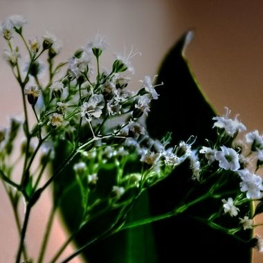 Babys Breath in the Light