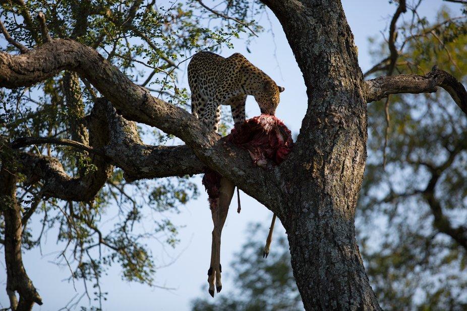leopard kill (1 of 1)