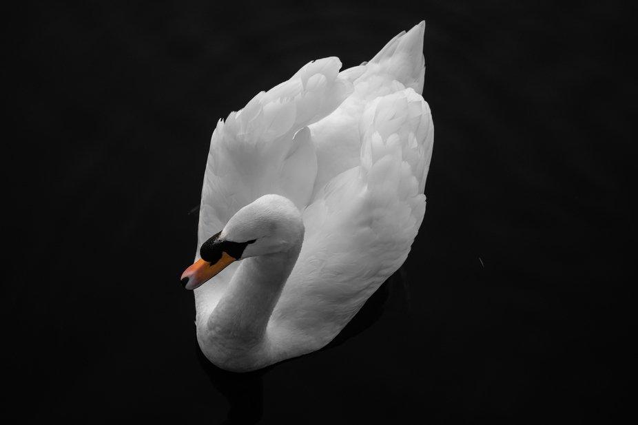 Swan on River Soar
