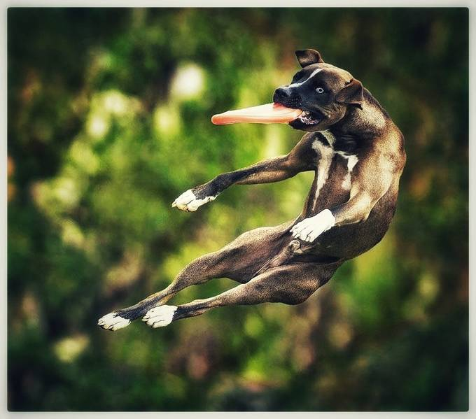 King of the frisbee by ambermundy - Dogs In Action Photo Contest