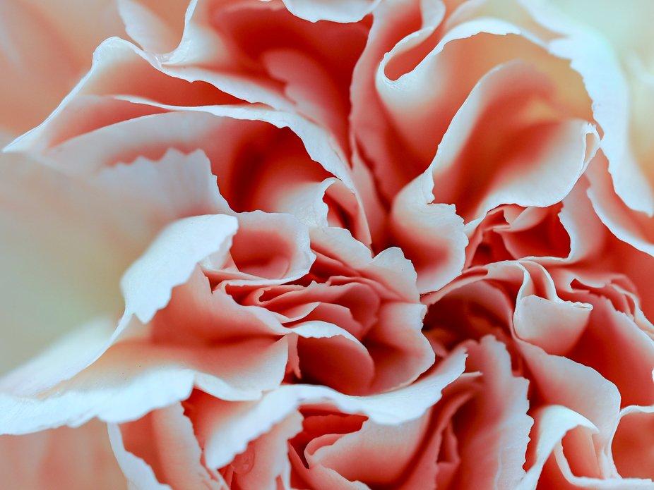 Apricot-Carnation