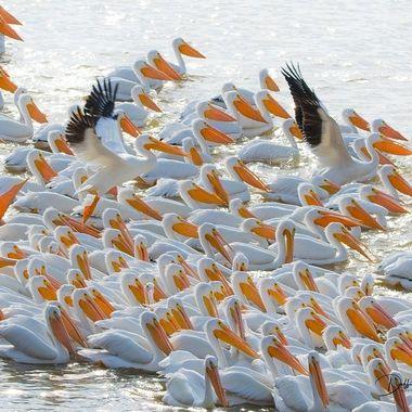 Pelicans in Mass