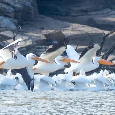 Pelicans 1,2,3