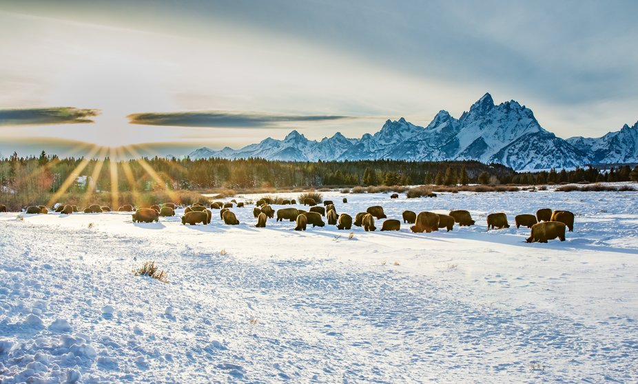 Bison herd in January at sunset in Wyoming