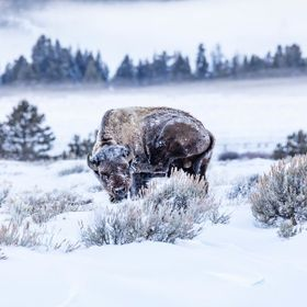 Frosty Bison Scratching an itch at -10 degrees