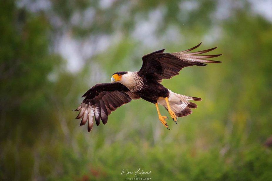A nice flying Caracara in South Texas
