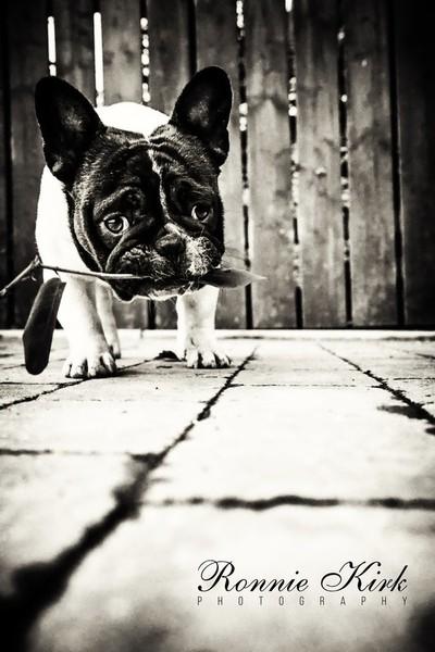 Pied French Bulldog Pup