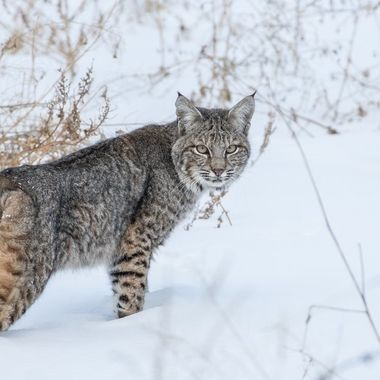 A small bobcat near quilchena B C