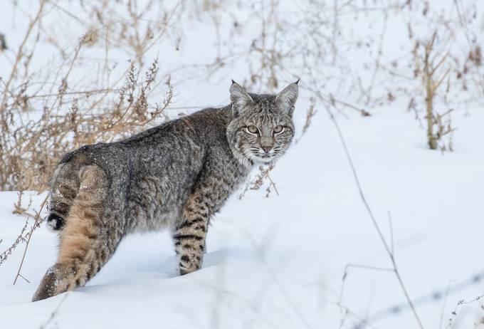 Bobcat 6 by edhendricks - Winter Wildlife Photo Contest